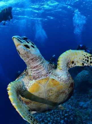 Tortue imbriquée et plongeurs en Mer Rouge