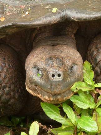 Tortue terrestre sur l'île de Santa Cruz aux Galapagos