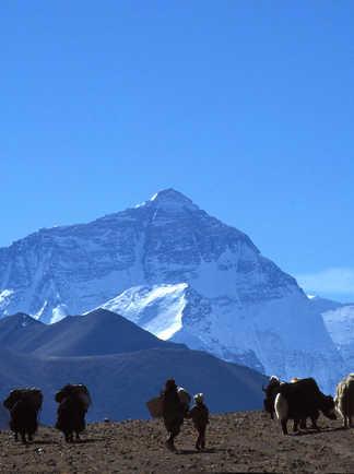 Troupeaux de yaks devant la face nord de l'Everest
