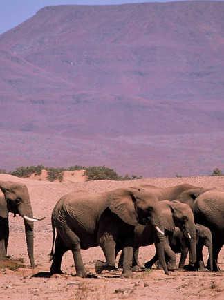 Un troupeau d'éléphants de la rivière Huab en Namibie