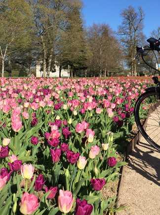 Vélo électrique devant le bandeau de tulipes à Cheverny