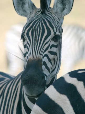 Zèbre dans la brousse du Botswana
