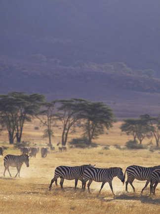 Zèbres dans la réserve du Ngorongoro