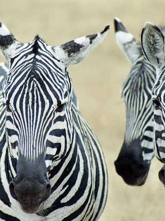 Zèbres sauvages dans la brousse namibienne