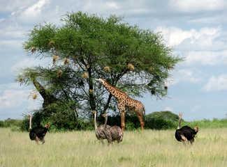 Autruches et girafes lors d'un safari au Serengeti