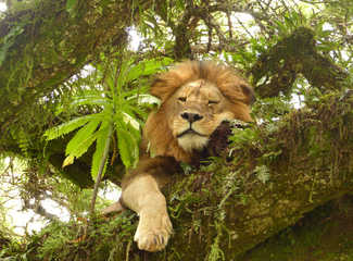 Lion flegmatique sur son arbre dans le Ngorongoro