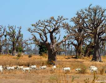 Baobabs et chèvres dans le brousse sénégalaise