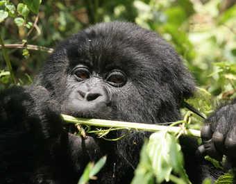 Gorille dans le parc national des Virungas