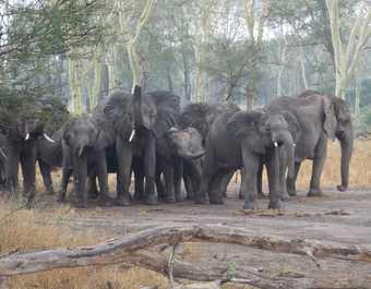 Groupe d'éléphants en liberté