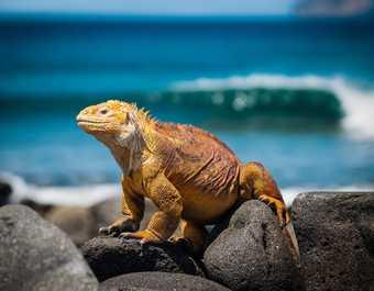 Iguane prenant le soleil aux Galapagos