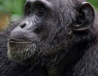Observation des chimpanzés dans la forêt de Kibale