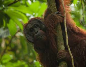 Orang-outan Semenggoh Borneo