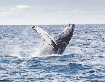Saut de Baleine à bosse au Canada