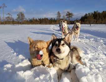 Traineau à chiens en Laponie