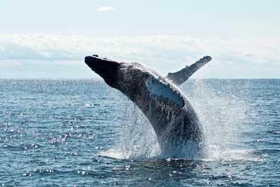 Baleine à bosses au Canada