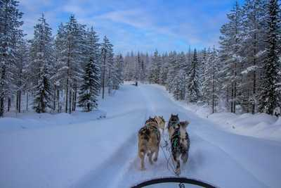 Chien de traineau en Finlande du Nord