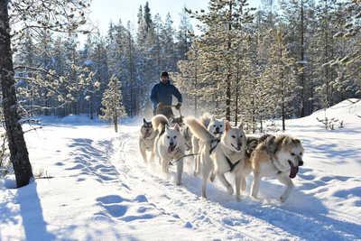 Chien de traineau en Laponie, Finlande
