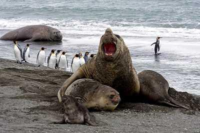Elephants de mer et manchots en Antarctique