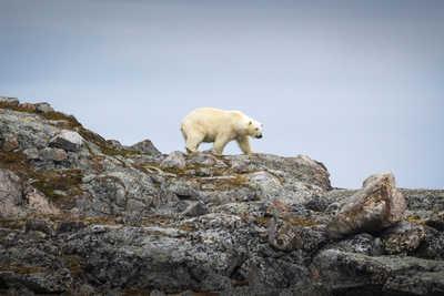 Ours polaires au Spitzberg, Arctique