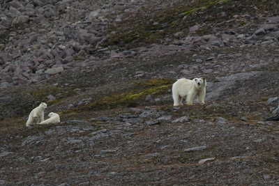 Ours polaires au Svalbard