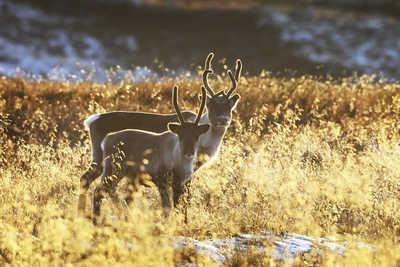 Rennes sauvages en Finlande