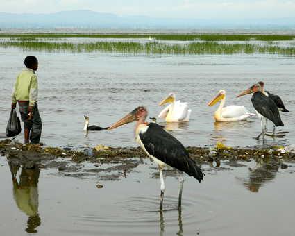 Les marabouts au bord d'un lac dans le sud éthiopien