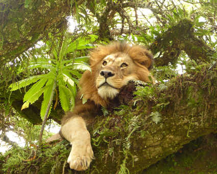 Lion dans un arbre dans l'aire préservée du Ngorongoro