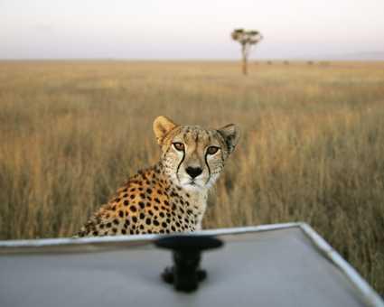 Magnifique guépard dans la plaine du Serengeti
