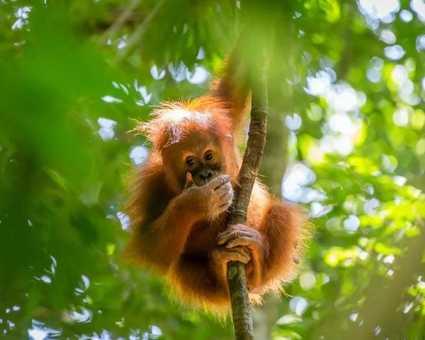 Orang-outan dans une forêt de Sumatra