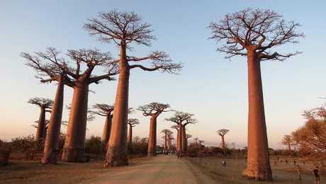 Allée des Baobabs à Madagascar au coucher du soleil