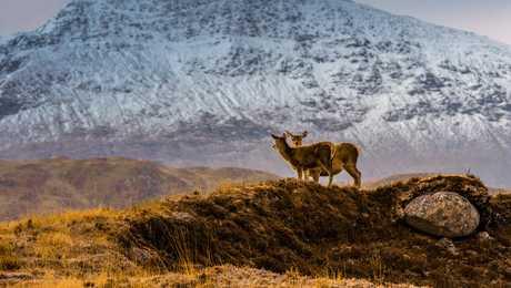 Faune, cerfs dans les Highlands