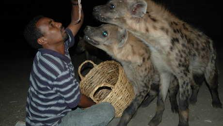 Les hyènes de la ville d'Harar en Ethiopie