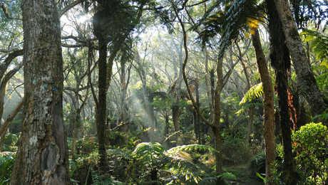Mystique Forêt de Bélouve, la Réunion