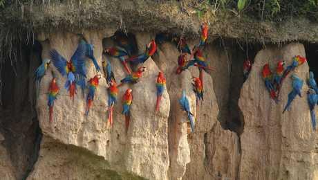 Observation des guacamayos dans la selva péruvienne