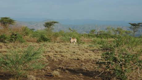 Oryx dans le parc national d'Awash