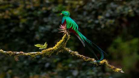 Quetzal resplendissant - Costa Rica