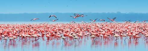 Flamants rose sur le lac Natron
