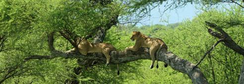 Lionnes dans les arbres dans un parc tanzanien