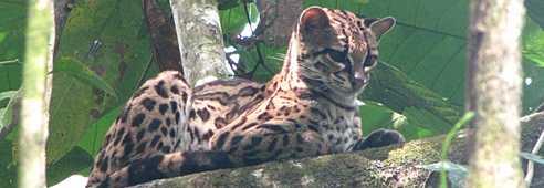 Ocelot dans un arbre au Costa Rica