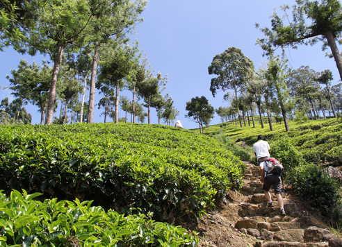 Randonneurs-dans-les-plantations-de-thé-Sri-Lanka