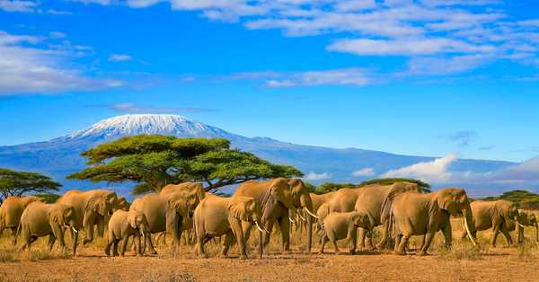 Eléphants au pied du Kilimandjaro