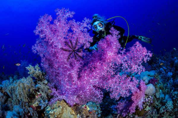 Rose, violet, jaune, orange, blanc... les alcyonnaires multicolores habillent les fonds de Mer Rouge