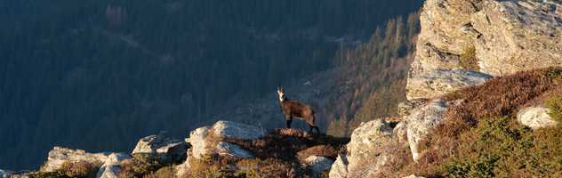 Chamois dans le massif du Mont Blanc