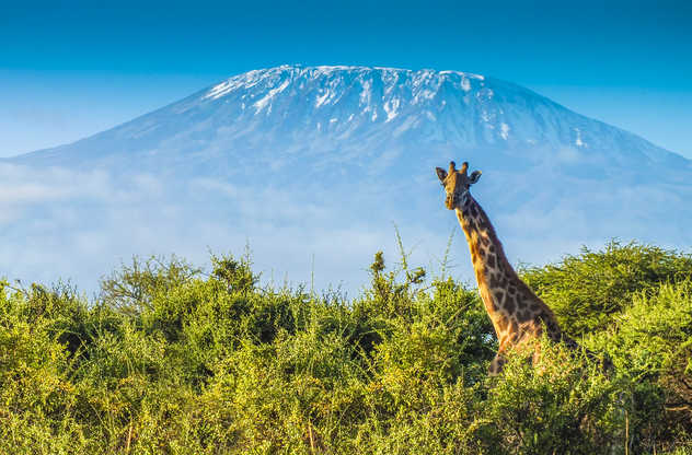 Girafe devant le Kilimandjaro