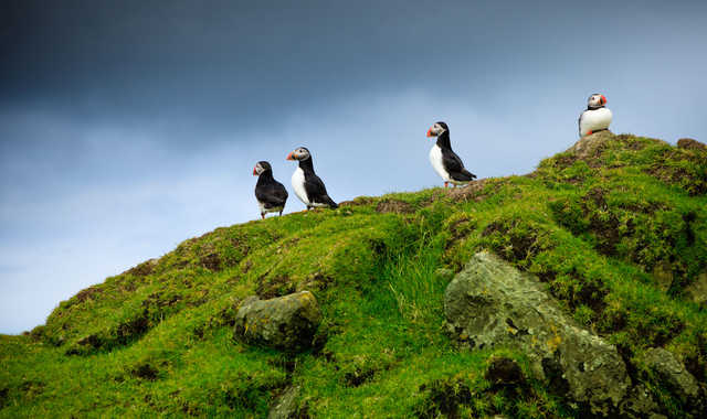 Macareux moines aux îles Féroé