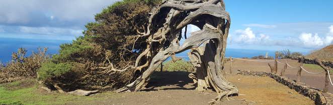 Arbre el sabinar, sur l'île El Hierro