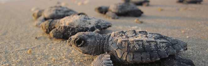 Bébés tortues sur les plages du Guanacaste - Costa Rica