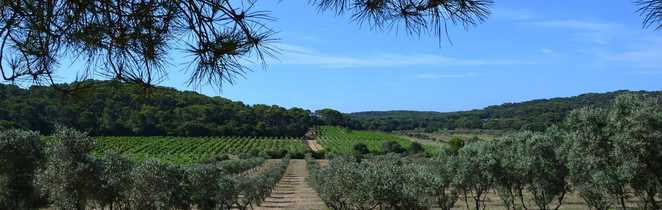 Champs d'oliviers lors d'une randonnées sur l'île de Porquerolles
