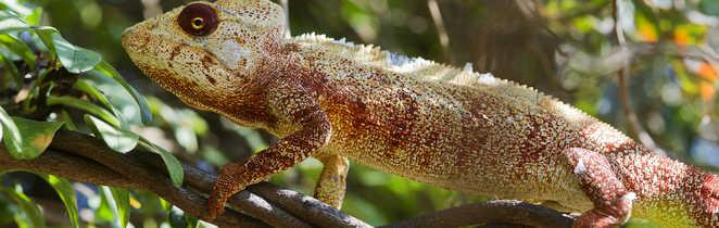 Couleur caméléon à Madagascar
