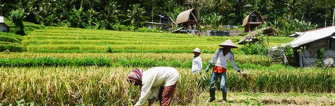 Indonésiens cueillant le riz
